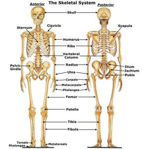 skeletalgen